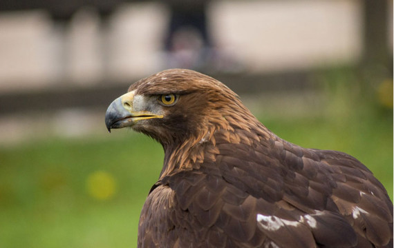 Now-Eagles-Fall-Prey-To-Vulture-Killing-Drugs